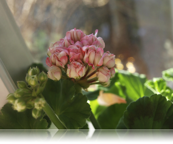 Apple Blossom...