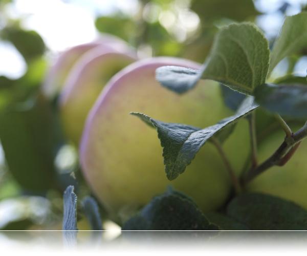 Æbleoverflod...