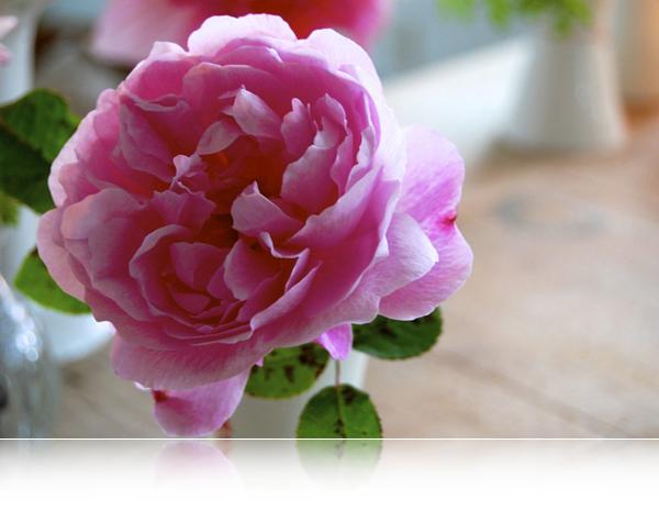 Rosa rose...
