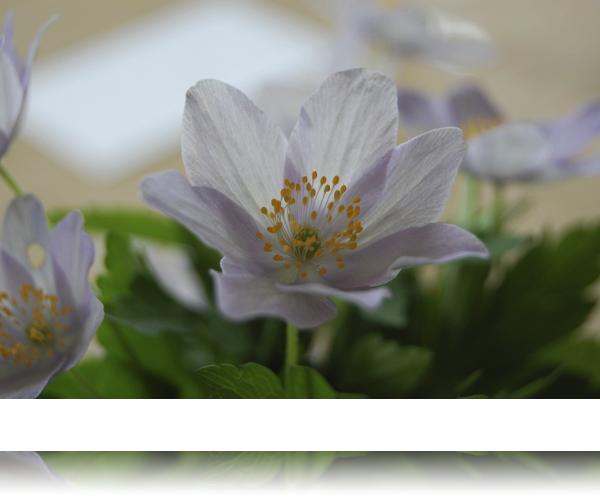 Svenske anemoner...