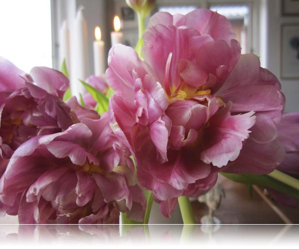 Trætte tulipaner...