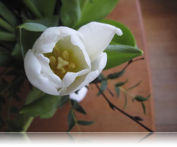 Tulipaner fra svigerdrengen...