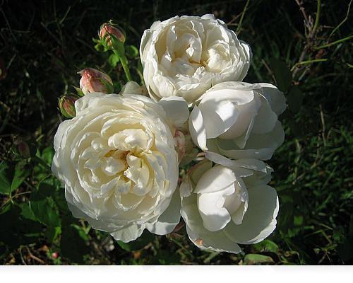 Ny rose…