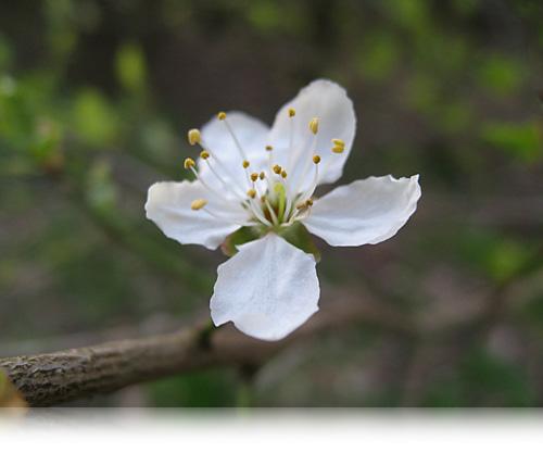 Mirabelle-blomst…