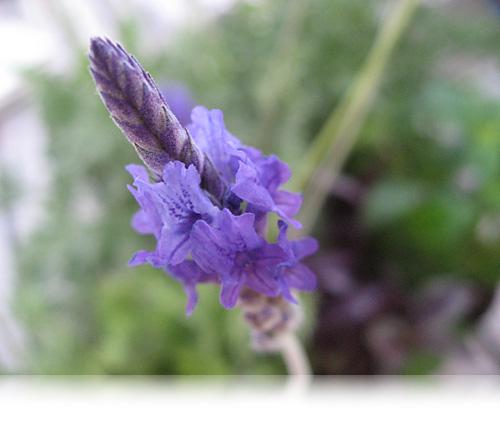 Lavendel-spyd…