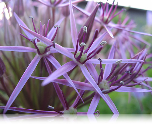 Allium…
