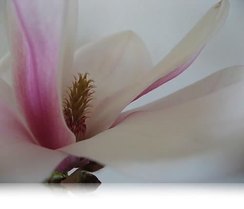 Magnolia…