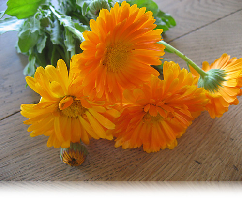 Calendula officinalis…