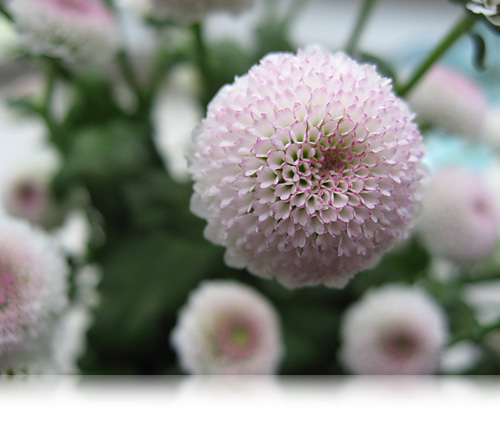 Chrysantemum forklædt som bellis…