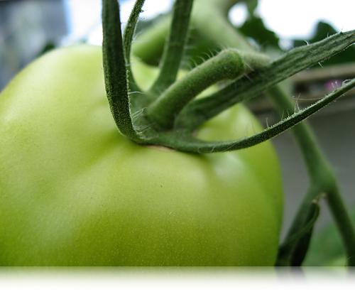 Grøn tomat…