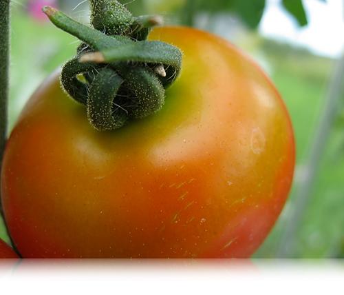 Rød tomat…
